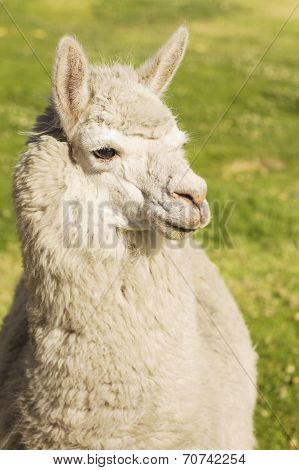 Close up of lama laying on the grass Arequipa Peru