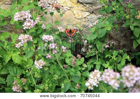 Butterfly and oregano