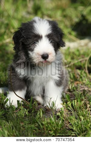 Beautiful Bearded Collie