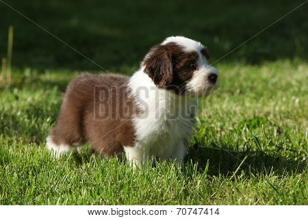 Puppy Of Bearded Collie In The Garden