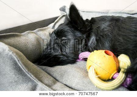 Scottish Terrier Sleeping