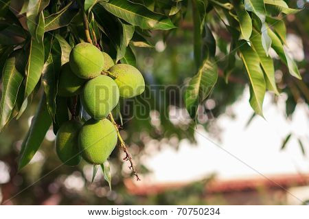 Bunch Of Green Unripe Mango On Mango Tree