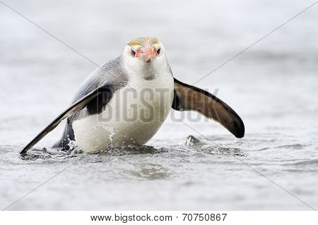 Royal Penguin (Eudyptes schlegeli)