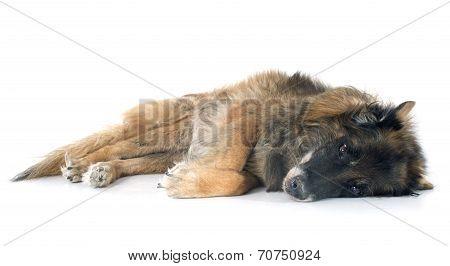 Old Belgian Shepherd