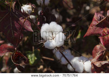 Close Up Of Cotton Boll. Weita. Omo Valley. Ethiopia.