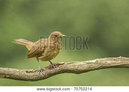 Clay-colored Thrush-juvenile