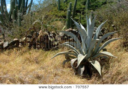 Big Aloe