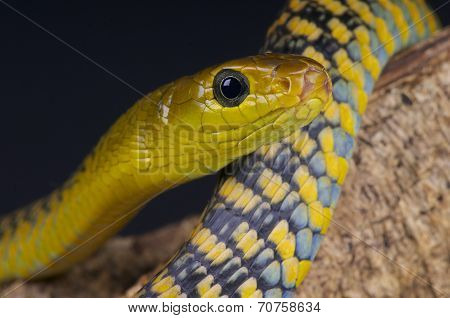 Tree snake / Thrasops jacksonii
