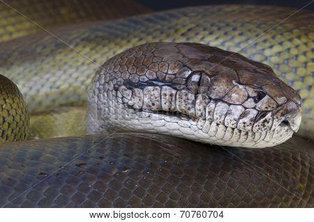 Papua python / Apodora papuana
