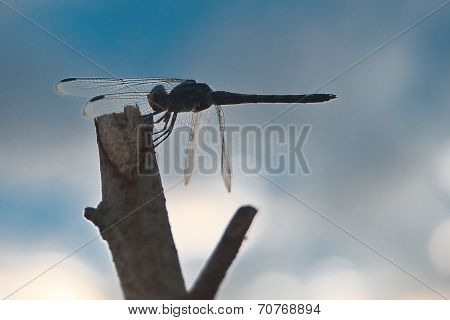 Dragonfly On Branches