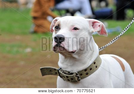 American Staffordshire Terrier. American Pit Bull Terrier. Dog.