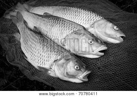 Catch of fishes. European Chub (Squalius cephalus) on a landing net. Black and white photography.