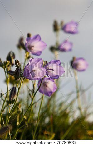 Wild Irish Flowers.