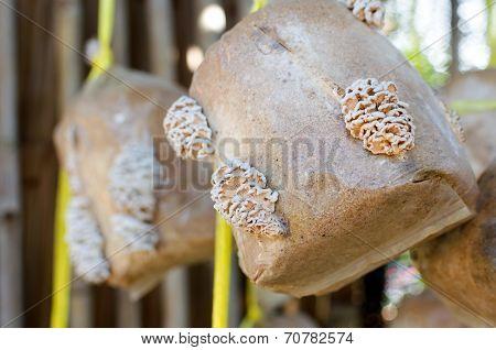 Mushroom (schizophyllum Commune) .