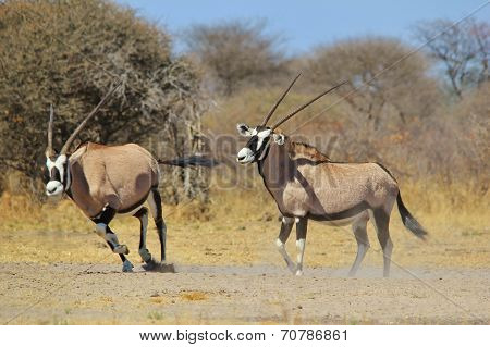 Oryx - African Wildlife Background - Gemsbok Fight Anticipation