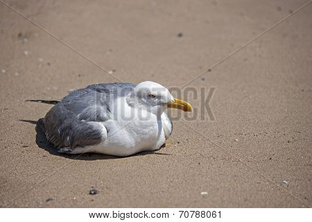 a seagull stop to rest on the beach