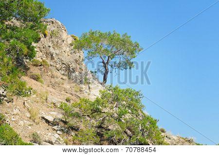 Pine On A Mountainside And Blue Sky