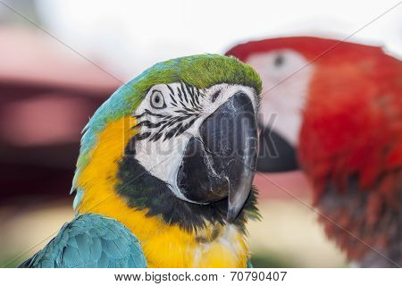 Exotic colorful macaw parrot