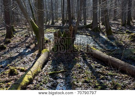 Sunny Landscape Of Early Spring Deciduous Stand