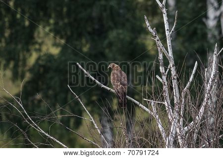 Honey Buzzard, Pernis Apivorus