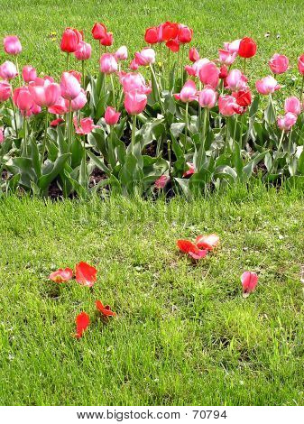 Red And Rose Tulips