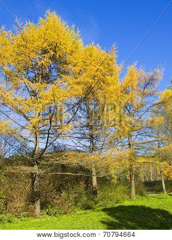 Yellow Larches, Autumn