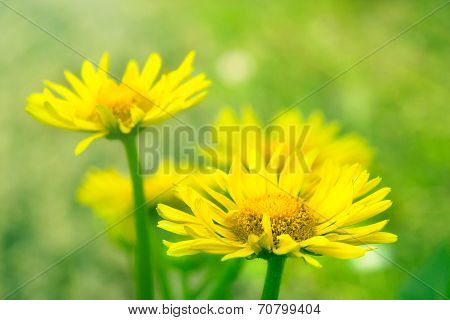 Yellow Camomile Or Marigold Flowers On Grass