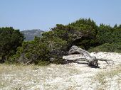 stock photo of juniper-tree  - A tree of juniper curved by the wind typical of the spontaneous vegetation of Sardinia - JPG