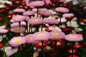 image of feverfew  - chrysanthemum flower blossom flowers mum feverfew blossoming beautiful garden - JPG