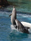 pic of dolphins  - jumping dolphins in Gold Coast of Australia - JPG