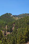 picture of pinus  - Gran Canaria inland endemic pine Pinus canariensis grows on mountainsides - JPG