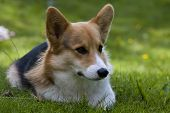 foto of corgi  - welsh corgi youngster laying on the lawn - JPG