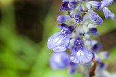 picture of blue-salvia  - Closeup petal of blue salvia with water drop.