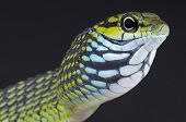 stock photo of tree snake  - The dagger - JPG