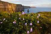 picture of cliffs moher  - Cliffs Of Moher with Harebell wild irish bell - JPG