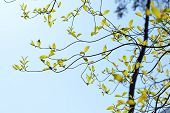 picture of dogwood  - Branches and leaves of the dogwood in Japan - JPG