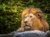 pic of female buffalo  - Lion sleep on the stone cave with morning light and green nature background - JPG