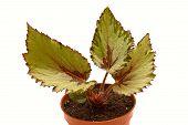 image of begonias  - decorative foliage plant begonia on white background - JPG