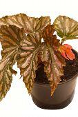 stock photo of begonias  - decorative foliage plant begonia on white background - JPG