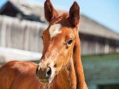foto of foal  - portrait of little chestnut foal - JPG