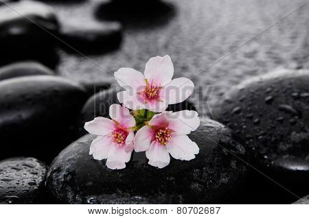 Black zen stone and cherry blossom still life