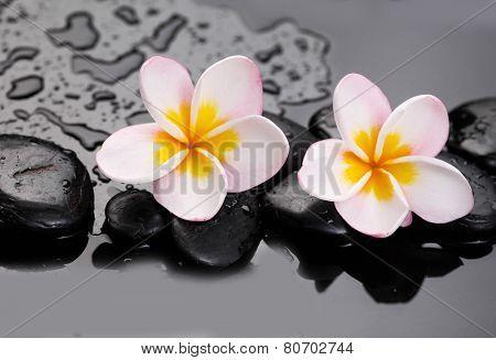 Glorious frangipani or plumeria flowers and wet stones