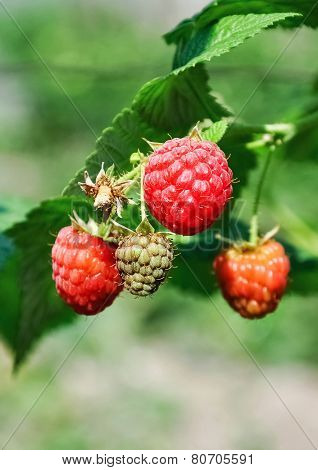 Fresh Red And Green Raspberries In A Bush