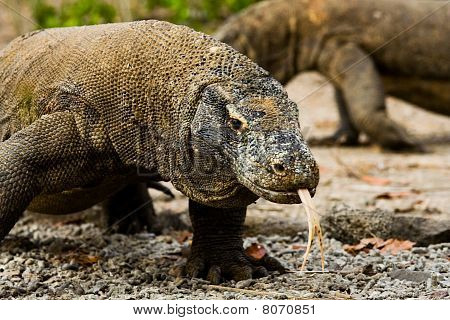 Komodo Dragons Search Food
