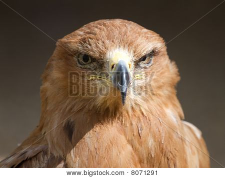 Tawny Eagle Head On