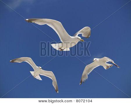 Seagulls Hoving