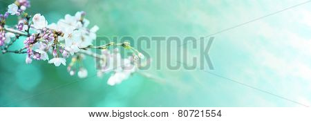 Early spring cherry blossom with clusters of flower buds, with beautiful spring green background.