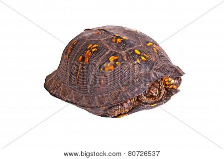 Male Eastern Box Turtle (terrapene Carolina Carolina) Isolated On White