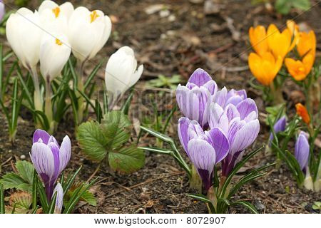 Crocus Flowers Various Colored