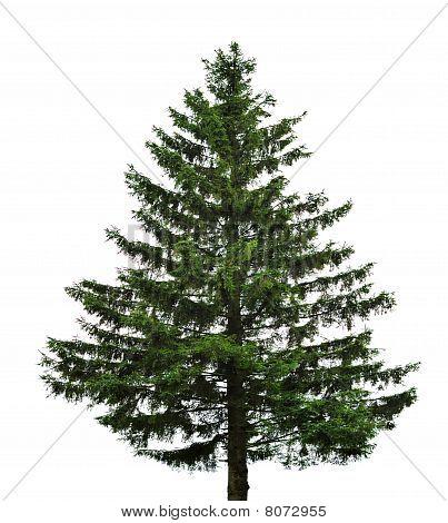Árvore de abeto único
